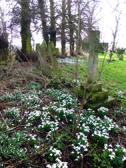 St.George's Shimpling  snowdrops 2014